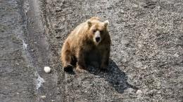 Видео: Медведи атакуют Ямал