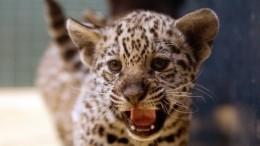 Фоторабы: зачем житель Ленобласти поселил усебя дома ягуара
