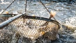 Названы причины катастрофической гибели промысловой рыбы вАстрахани