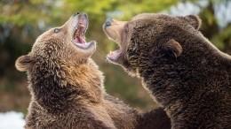Медведица смедвежатами устроили забег врайонном центре Мильково наКамчатке