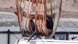 Еще одну группу косаток выпустили наволю из«китовой тюрьмы»