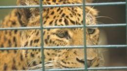 Видео: Двух маленьких леопардов итигра пытались тайно вывезти изКраснодара