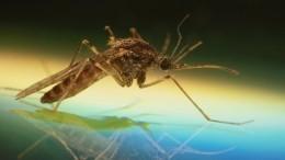 Ученые обеспокоены появлением комаров-мутантов, отличающихся отобычных особей