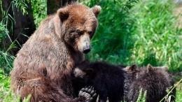 Видео: медвежат, играющих вфутбол, сняли очевидцы наКамчатке
