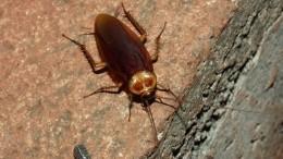 Энтомолог рассказал, стоитли россиянам бояться нашествия американских тараканов