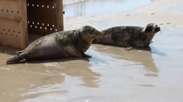Вкалининградском зоопарке прошел выпускной для краснокнижных тюленей