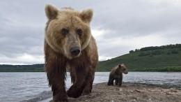 Видео: НаКамчатке 70 медведей заблокировали туристическую тропу