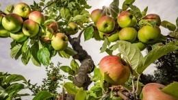 Яблочный Спас: что можно инельзя делать 19августа