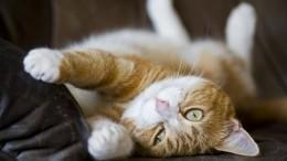 Видео: Кот покличке Коржик сделал миллионерами своих хозяев