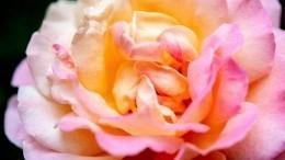 Как спасти розу отпреждевременного увядания спомощью воздушного шарика