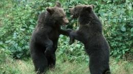 Медведи атаковали жителей Кузбасса