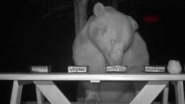 Медведи провели дегустацию меда напасеке вТурции