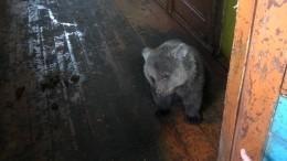 Вбесхозном доме вМурманске нашли медвежонка-сироту