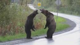 «Звериные ММА»: кадры схватки двух медведей гризли нашоссе вКанаде