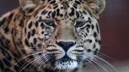 Спасенному вПриморье дальневосточному леопарду дали имя Эльбрус