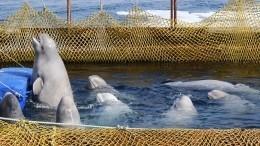 Еще 14 белух из«китовой тюрьмы» грузят насудно, чтобы отпустить вморе