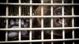 СККарелии проводит проверку после нападения медведя надрессировщика