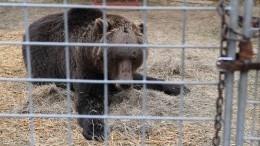 «Убежать немогли»: зрительница онападении медведя надрессировщика вКарелии