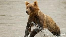 Русского медведя-нелегала выдворяют изЭстонии