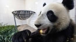 Видео: панда остервенело атакует дерево вМосковском зоопарке