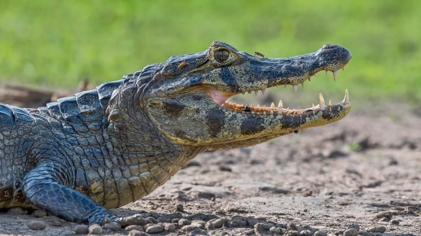 Маленькая девочка выколола крокодилу глаза, спасая подругу