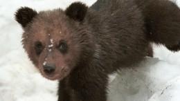 Видео: Раненый медвежонок сбежал отблогерши под Петербургом