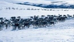 Скоро Новый год: НаЯмале стадо оленей надвадцать минут перекрыло дорогу