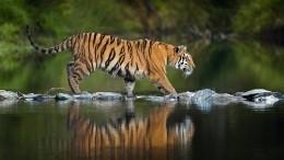 Тигр напал наохотника вПриморье