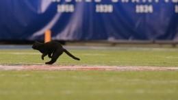 Черный кот прервал матч поамериканскому футболу— видео