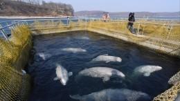 Последняя группа белух из«китовой тюрьмы» готовится ктранспортировке наволю