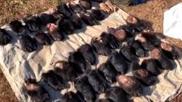 ВПриморье задержали иностранцев, пытавшихся вывезти изРФлапы медведя итигра