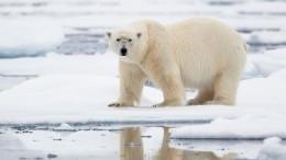 Видео: Неизвестные написали краской набоку белого медведя «Т-34»
