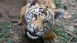 Игры диких тигрят впарке «Земля леопарда» попали навидео