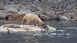Это Россия! Полсотни белых медведей окружили жителей поселка наЧукотке