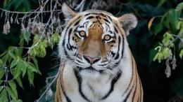 ВПриморском крае убили краснокнижного амурского тигра