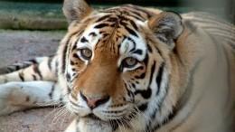 «Мой сын вменю зоопарка»: отцы сняли навидео две атаки тигра наихдетей