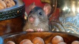 Малоизвестные факты окрысах— символе 2020 года