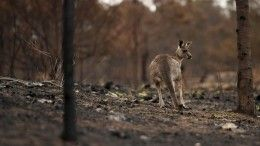 Пожары вАвстралии унесли жизни свыше миллиарда животных