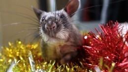 «Подарок кгоду крысы»: вЕкатеринбурге открыли центр для выброшенных грызунов