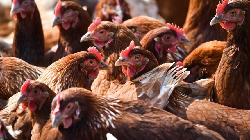 Роспотребнадзор заявил обугрозе распространения птичьего гриппа