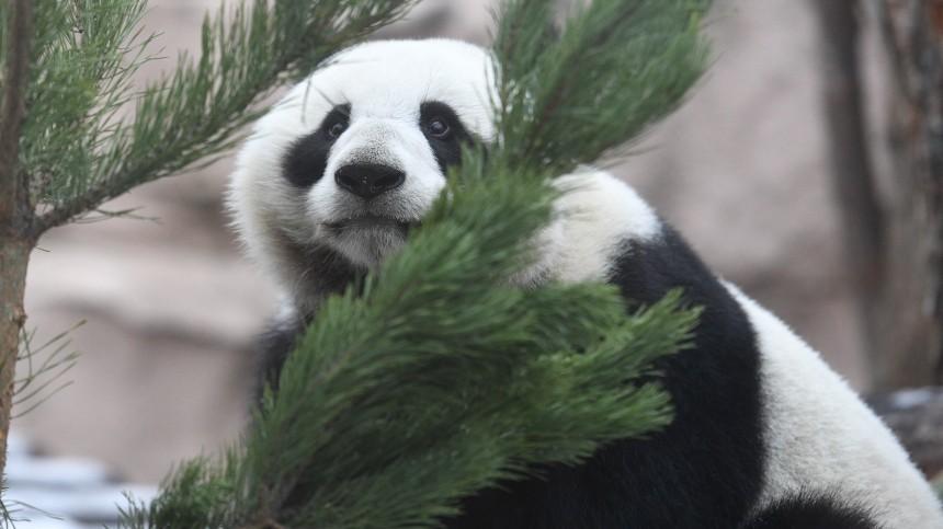«Ми-ми-мишка»: панда играла селкой вМосковском зоопарке ипроиграла