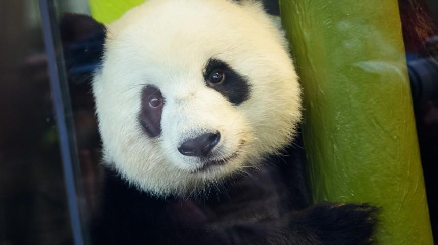 Берлинский зоопарк показал публике детенышей панд
