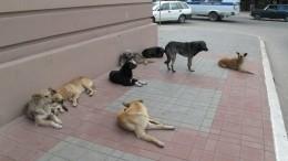 Как вМинсельхозе предлагают бороться состаями бродячих собак, нападающими налюдей