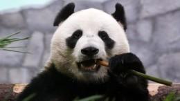 Самец панды раскрасил валентинку для своей подружки вмосковском зоопарке