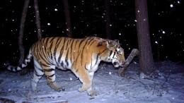 Автобус сбил тигра вПриморье— животное умерло, пытаясь спрятаться влесу