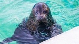 Тюлень Крошик наглядно показал, почему опасно выходить натонкий лед