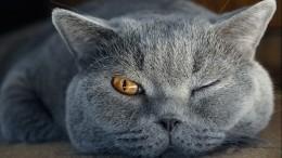 Любопытный сибирский кот «взорвал» сеть— видео