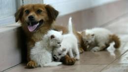 Кошки каких пород отлично ладят ссобаками