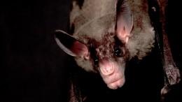 Ученые выяснили, как обыкновенные вампиры заводят друзей