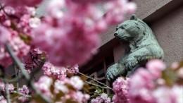 Коронавирус прекрасному непомеха? ВЯпонии всамом разгаре сезон цветения сакуры